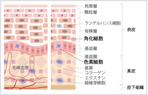 肌の組織図
