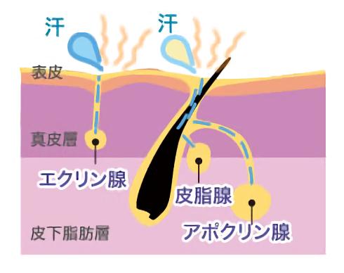 皮膚内のアポクリン腺、皮脂線、エクリン腺を表している画像